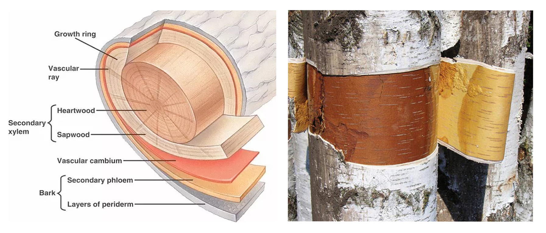 Diagram showing the Birch bark Layers